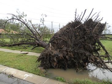 A tree uprooted in Arabi.